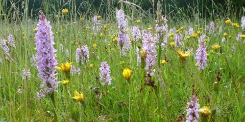 Bunte Vielfalt: Orchideenwiese (c) Biologische Station Zwillbrock